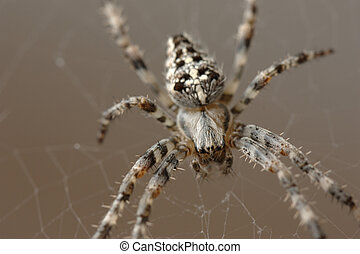 European Garden Spider Araneus diadematus