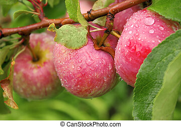 Crop of apples - Rain drops on ripe apples