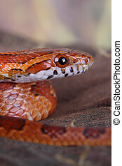 corn snake - portrait of a beautiful corn snake