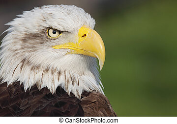 bald eagle - picture of a beautiful and wild bald eagle