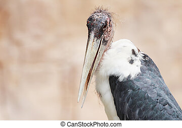Marabou - portrait of an ugly bird