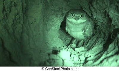 Burrowing Owl In Burrow - Burrowing Owl in burrow