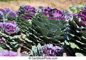 Fresh young organic collard greens,red cabbage garden
