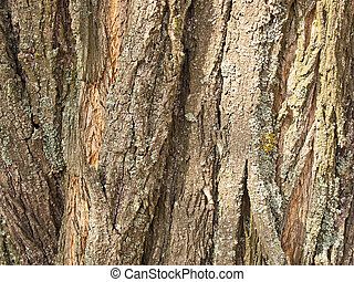 Background from a brown bark of a tree of an acacia