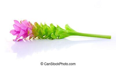 siam tulips