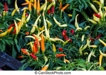 Chili pepper plants - Colorful ripening chili pepper plants...