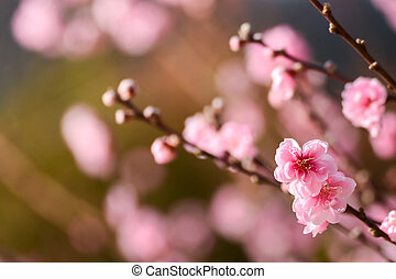 UME Japanese plum-blossom , beautiful pink flower