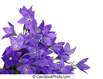 Bellflower isolated on a white background
