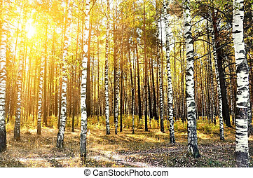 birch trees in a summer forest - birch trees in a summer or...