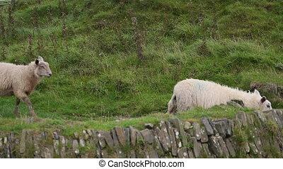 Sheep grazing near Trefriw, North Wales - Mountain sheep...