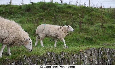 Sheep grazing near Trefriw, North Wales - Mountain sheep...