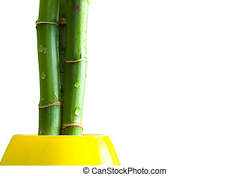 Bamboo plant - Bamboo stems and vase on isolated white...