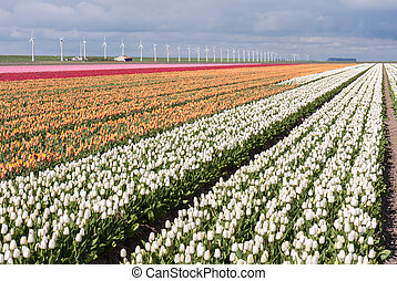 Dutch field of colorful tulips with windmills