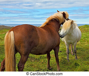 Tender meeting Two Icelandic horses with white manes on free...