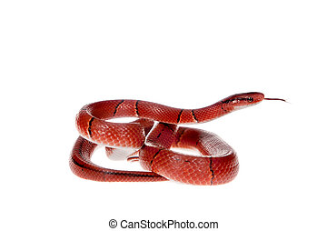 Small red bamboo snake isolated on white - Small red bamboo,...