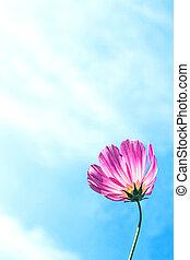 C.sulphureus Cav. or Sulfur Cosmos and blue sky