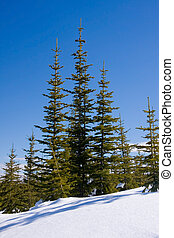 Winter evergreens - Evergreens at the top of a snow covered...