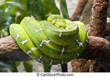 Emerald boa also known as the green tree boa.