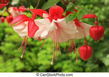 fuchsia - Fuchsia in full bloom.