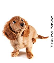 Bewildered looking dachshund puppy