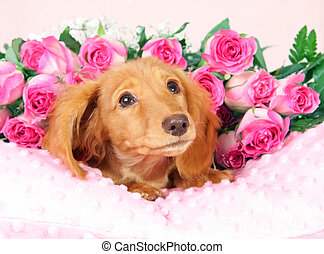 Valentines puppy - Dachshund puppy on a bed of roses.