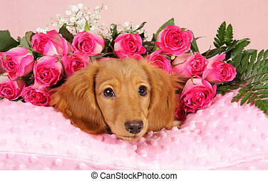 Valentine puppy - Dachshund puppy on a bed of roses.