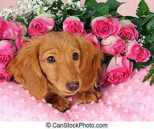 Valentine puppy - Dachshund puppy surrounded by roses