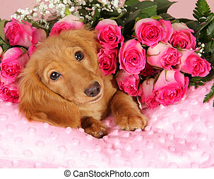 Valentine puppy - Dachshund puppy on a bed of roses
