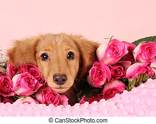 Valentine puppy - Dachshund puppy surrounded by roses for...