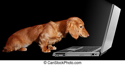Surfing puppy - Dachshund puppy looking fascinated by a...