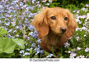 Dachshund puppy surrounded by spring flowers.