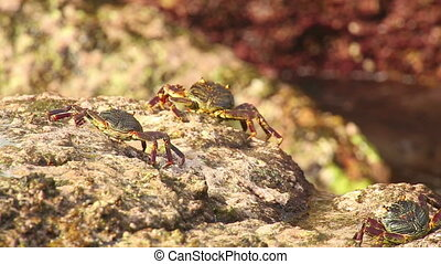 Crabs on the rock