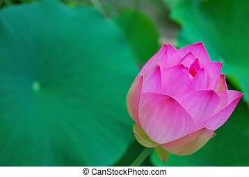 Lotus flower bud, symbolizing religion, buddhism, purity,...