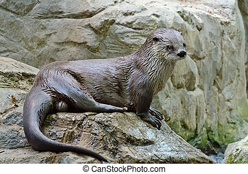 River otter - North American River Otter, Lontra canadensis