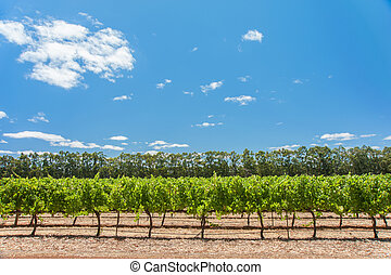Vines beyond the Windbreak - Side on vineyard with windbreak...