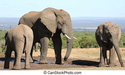 African elephants at waterhole - African elephants...