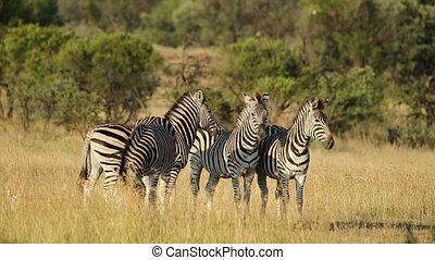 Alert Plains Zebras - Alert Plains (Burchells) Zebras (Equus...
