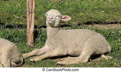 Merino sheep lamb - Small merino sheep lamb resting in a...