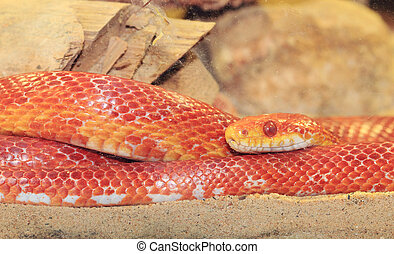 Close up of red corn snake