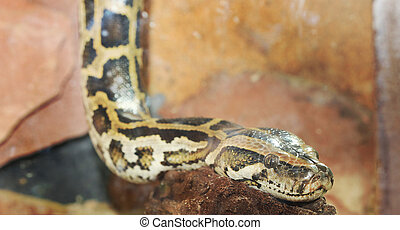 close up of python snake head