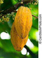 Theobroma cacao, Fruit of the cacao, Sterculiaceae, Central...