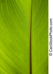 kanna green leaf close-up abstract background