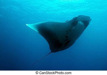 Manta Ray - Pacific Manta Ray Manta Birostris, Caño Island,...