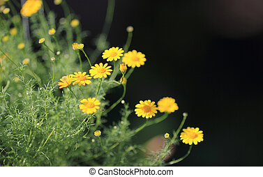 Dahlberg daisy,yellow flower