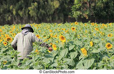 farmer working in Sunflower field - farmer working in...