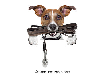 dog with leather leash - jack russell terrier dog waiting to...