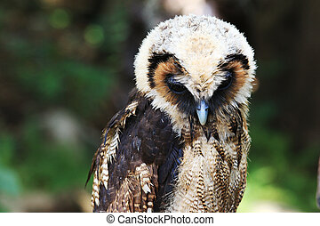big owl, green forest background - Close up big owl, green...