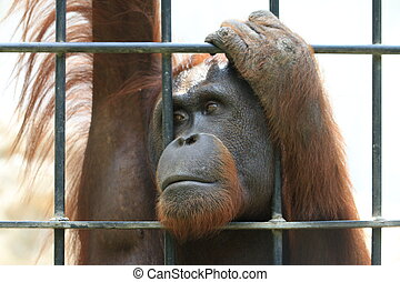 Big orangutan in cage.