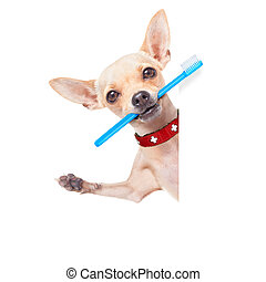 toothbrush dog - chihuahua dog holding a toothbrush with...