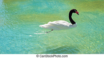 Black-necked swan - Amazing black-necked swan swiming in...